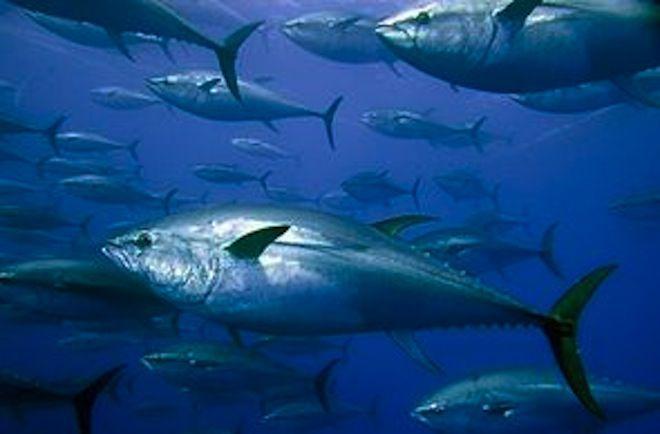 L'Iccat relève les quotas de thon rouge (D. R.)
