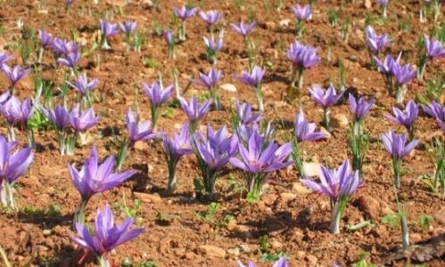 Dans la région Souss-Massa-Drâa, les producteurs de safran s'organisent pour défendre l'or rouge. (Photo : www.thrmagazine.info)