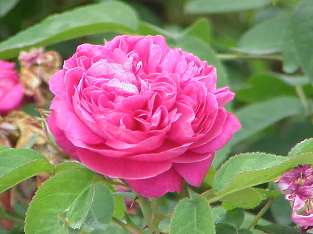 Rosa damasquina