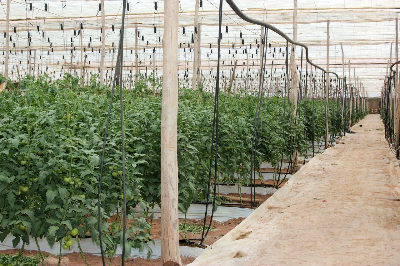 visite d une ferme de culture de tomates sous serre a t amira agadir blog par michel terrier. Black Bedroom Furniture Sets. Home Design Ideas
