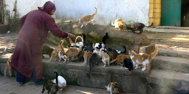 Au moins 150 chats du quartier Talborjt vont être stérilisés et bien sûr, vaccinés. © DR