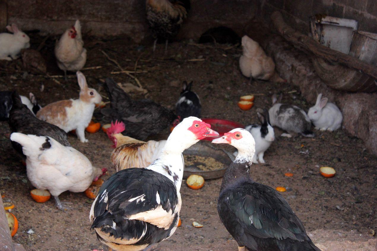 Canards, poules, coqs et lapins font bon ménage !