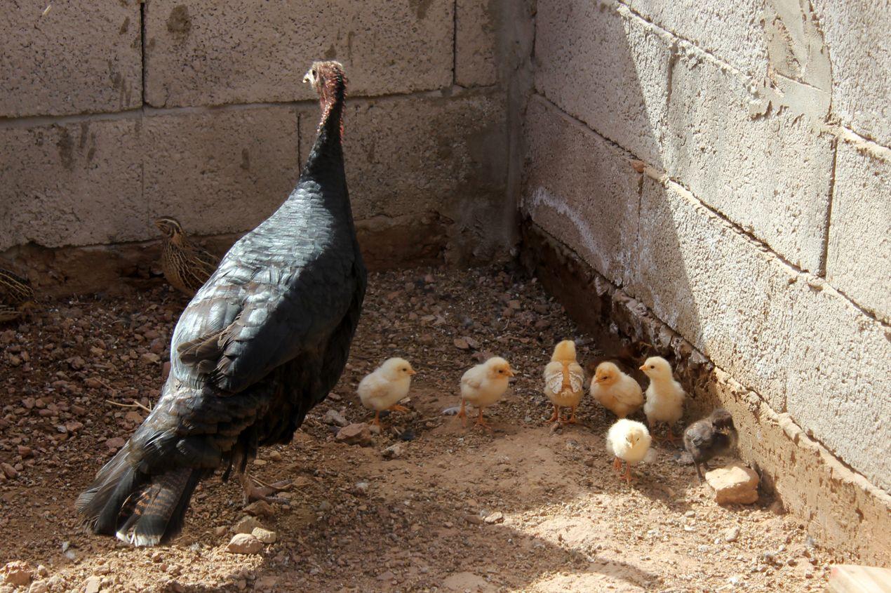 La dinde a couvé des oeufs de poule et s'occupe des poussins !