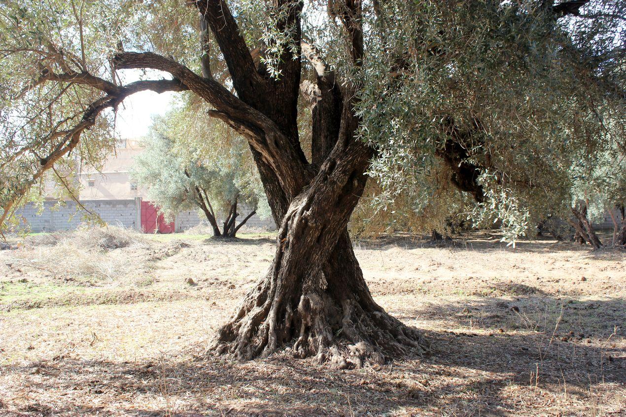 L'un des plus vieux oliviers