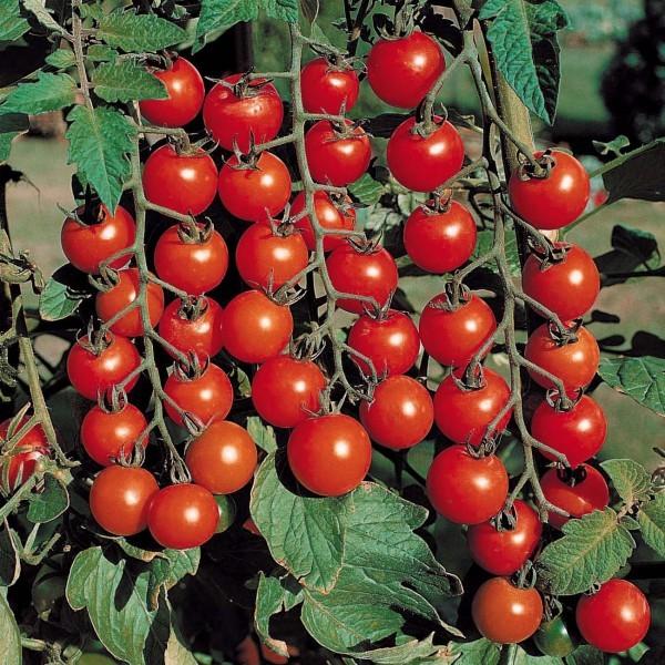 graines-tomate-cerise-rouge